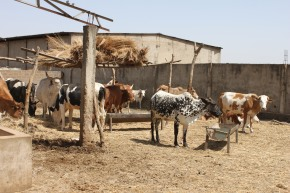 Greenhouse gas emissions from livestock waste in East Africa are significantly lower than global estimates: New study reveals
