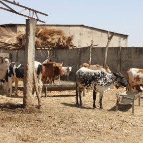 Greenhouse gas emissions from livestock waste in East Africa are significantly lower than global estimates: New studyreveals