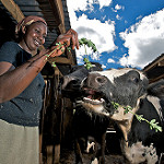 Better smallholder dairying for better incomes and climate resilience by and for the poor