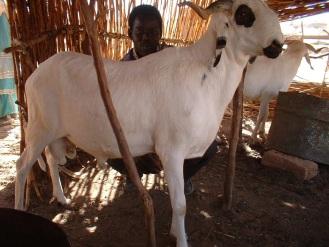 Sheep fattening BF photo credit ILRI Abdou Dangoma.jpg