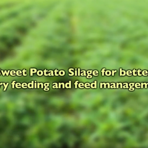 #ThrowbackThursday Video—Sweetpotato recipe for silage success
